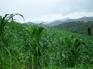 Corn of SW Belize