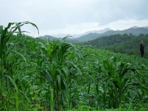 Corn of SW Belize